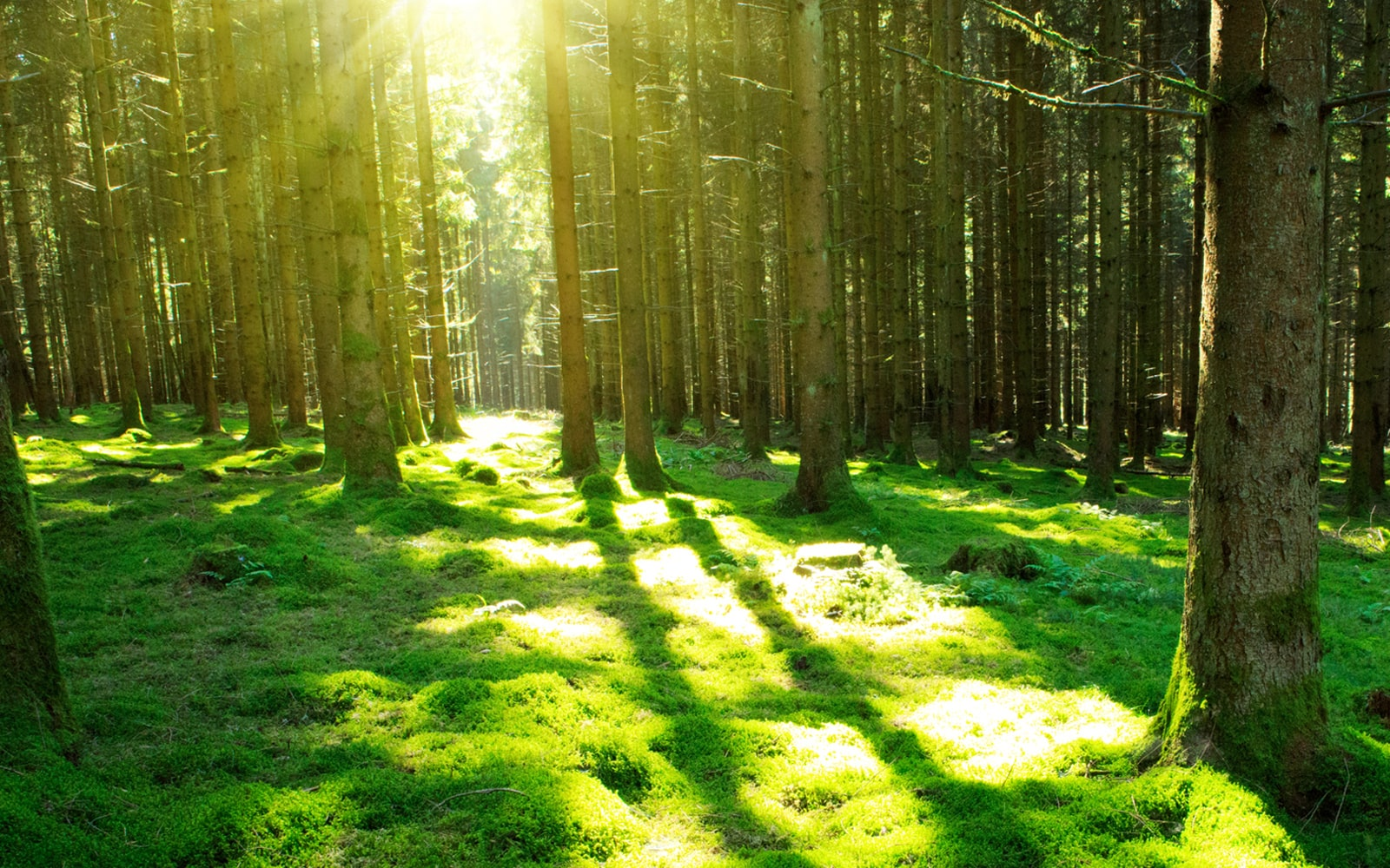 sun shines through the evergreen forest.