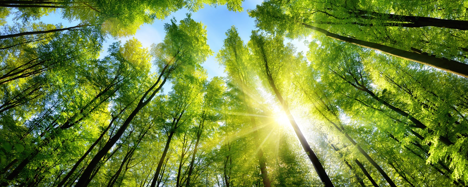 sunshine filters through the tall canopy of trees in the forest.