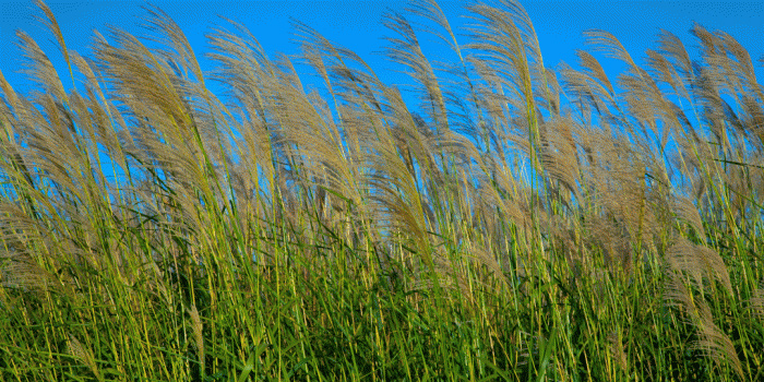 field of grass gently blowing in the breeze against the blue sky.