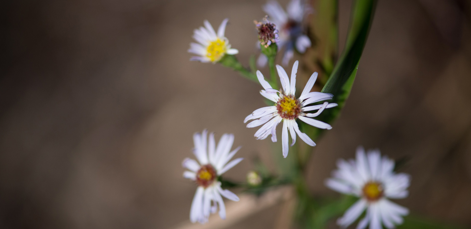 white daisies in bloom